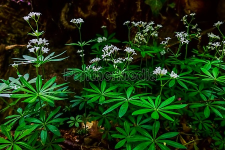 fresh woodruff with white blossoms in