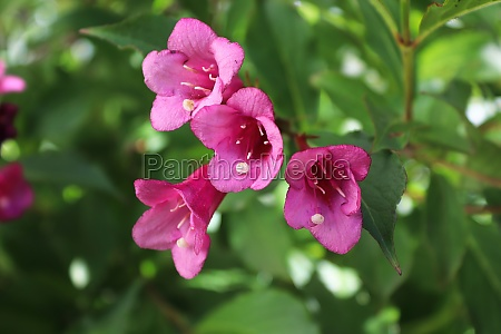 closeup of the pink flower blossoms