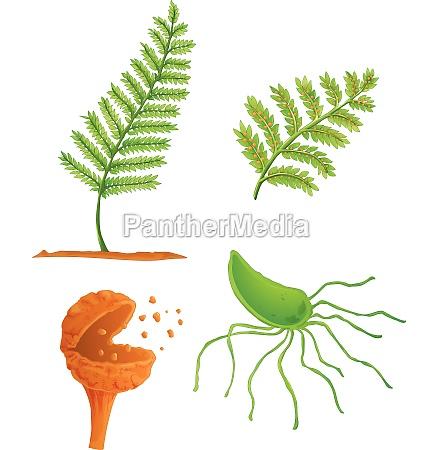 fern life cycle