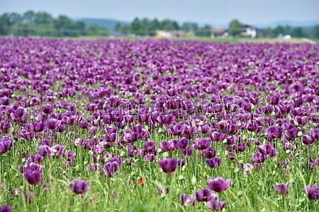 ein feld mit violetten mohnblueten in