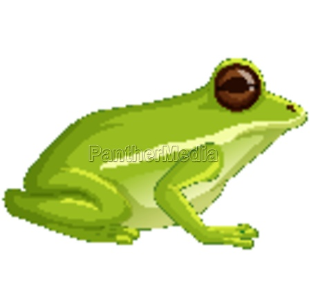 green tree frog sitting isolated on