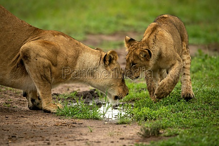 lion cub stands nuzzling mother by