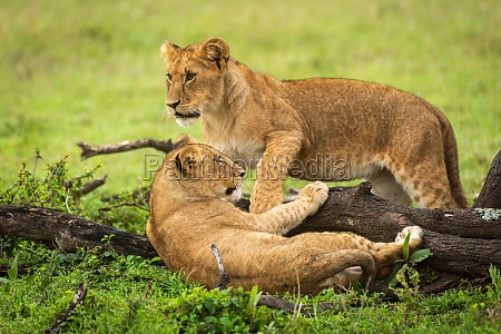 lion cub stands by another beside