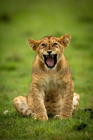lion cub sits yawning in wet