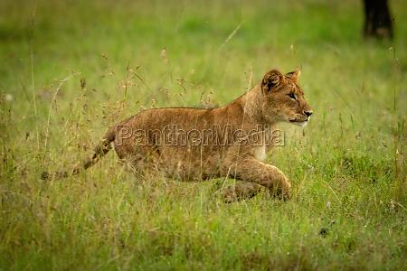lion cub sprints through grass lifting