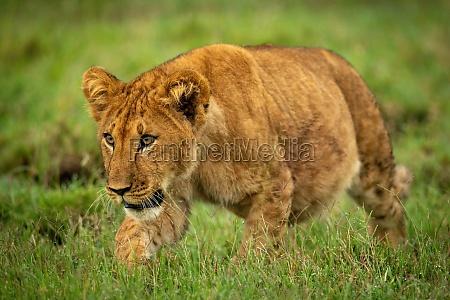 lion cub stalks through grass staring