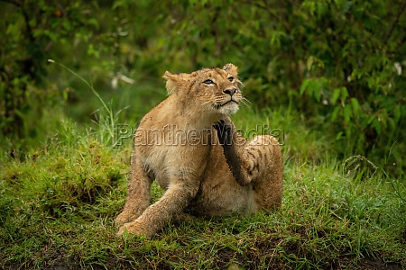 lion cub sits on grass scratching