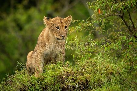 lion cub sits on mound staring