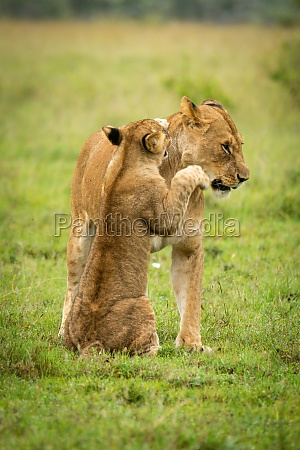 lion cub sits pawing mother in