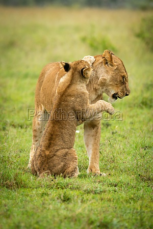 lion cub sits pawing mother on