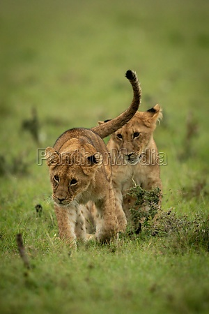 lion cub sits watching another walk
