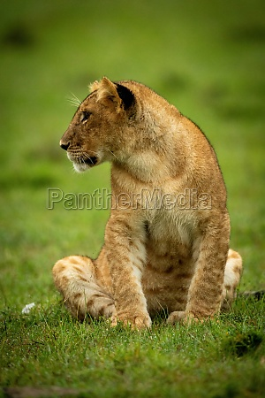 lion cub sits in grass turning