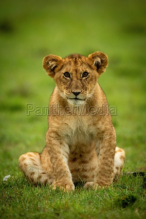 lion cub sits in grass eyeing
