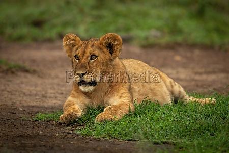 lion cub lies staring ahead on