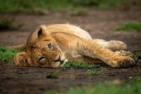 lion cub lying on dirt watching