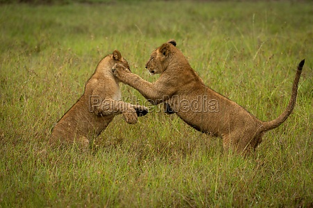 lion cub pawing another in long