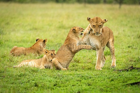 lion cub pawing mother near two