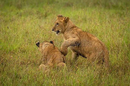 lion cub paws another in long