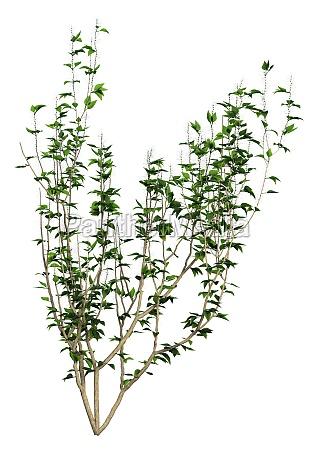 3d rendering forsythia plant on white