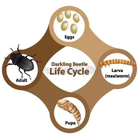 diagram showing life cycle of darkling