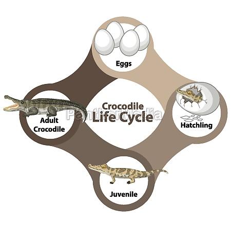 crocodile life cycle diagram