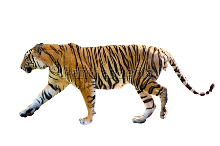 tiger white background isolate full body