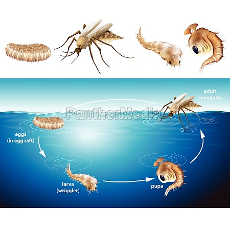 life cycle of mosquito in the
