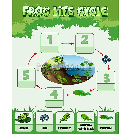 diagram showing life cycle of frog