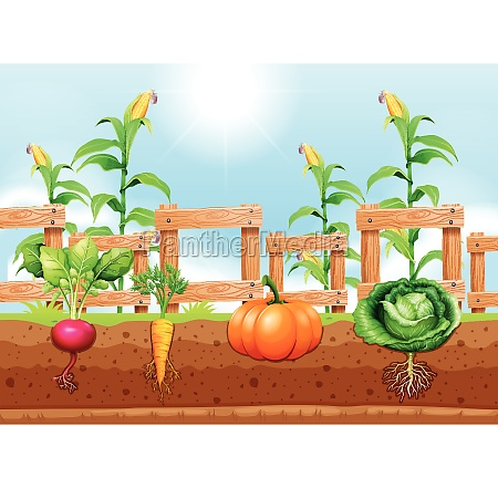 agriculture vegetables and underground root