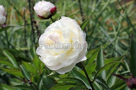 white double peony flowers