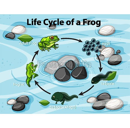 diagram showing frog life cycle