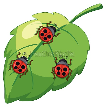 ladybug lady bettle insects on a