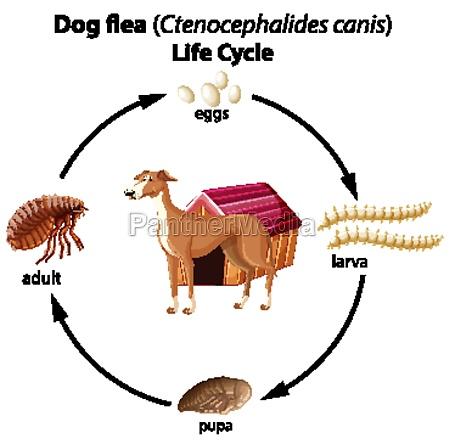 dog flea life cycle on white