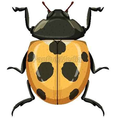 yellow ladybug or ladybird isolated on