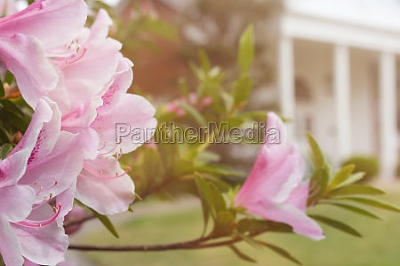 azalea flowers with historic mansion in