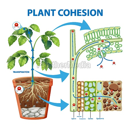 diagram showing plant cohesion