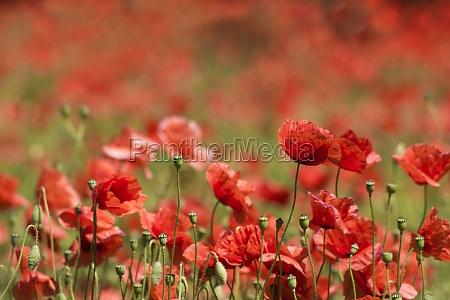 in the meadow wild poppy