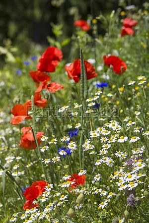 in the meadow wild flowers