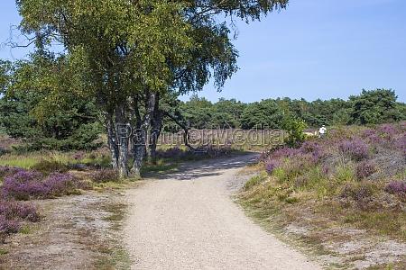 heathland in national park maasduinen in