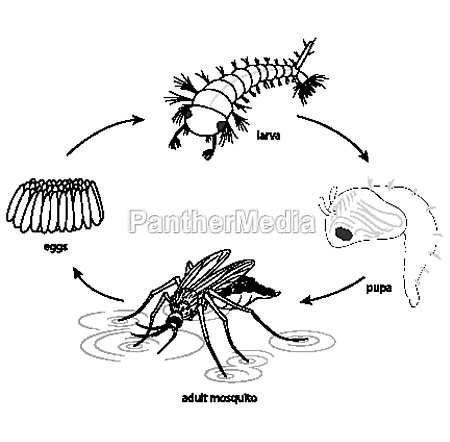 doodle of mosquito life cycle diagram