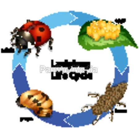 diagram showing life cycle of ladybug