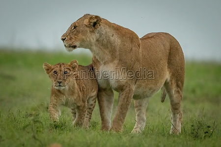 lioness stands on short grass with