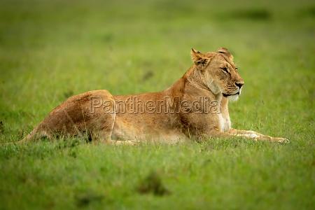 lioness lies on short grass staring