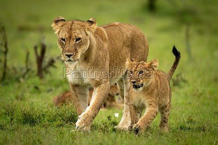 lioness and cub cross grass in