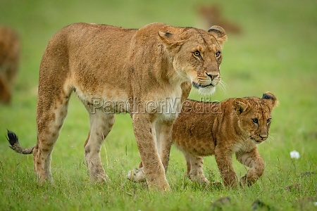 lioness and cub walk across grass