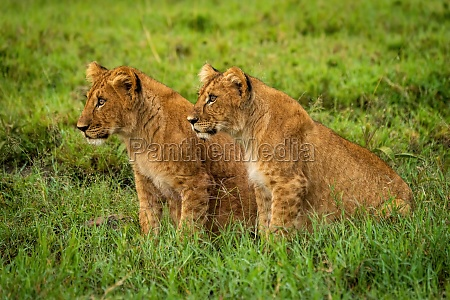 lion cubs sit in grass staring
