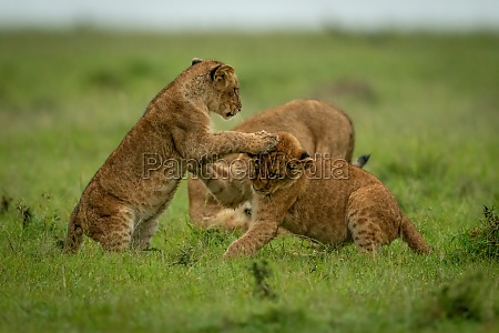 lion cubs slap each other in