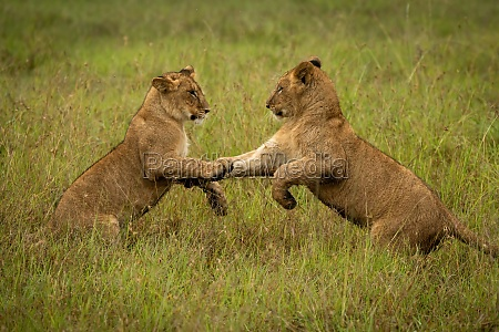 lion cubs on hind legs in