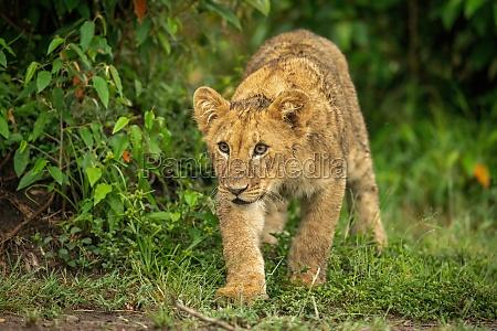 lion cub walks past bush looking