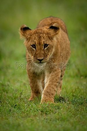 lion cub walks on grass toward